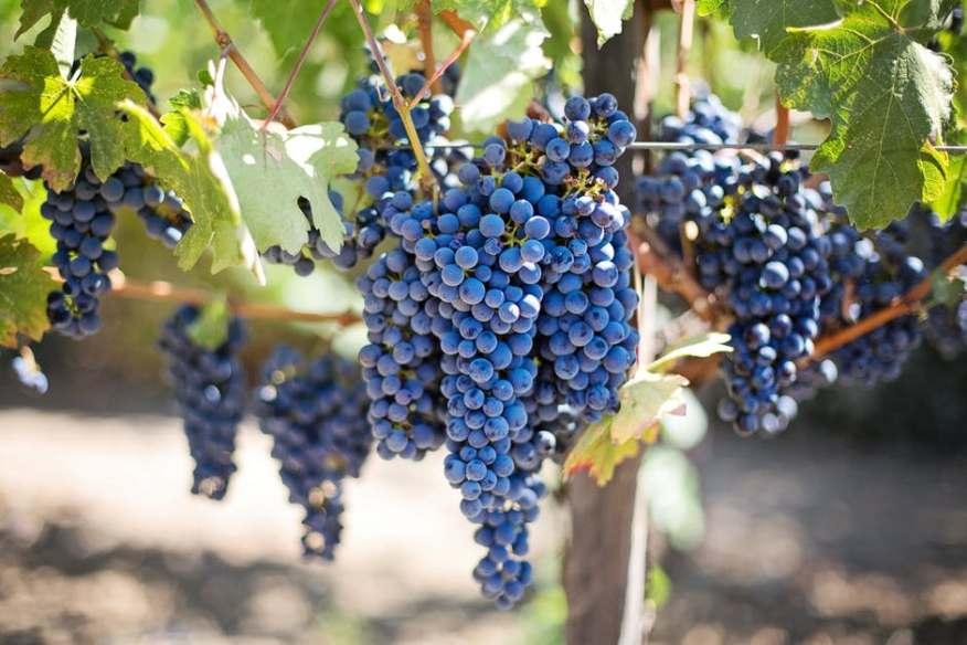 purple-grapes-vineyard-napa-valley-napa-vineyard-45209